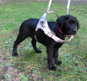 Söta labradorvalpen Thea iklädd en alldeles för stor sele.
